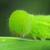 Geitoneura klugii - Marbled Xenica (larva)