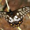 Papilio anactus - Dainty Swallowtail (male)