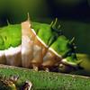Papilio aegeus - Orchard Swallowtail (larva)