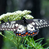 Papilio anactus - Dainty Swallowtail (female)