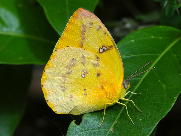 Catopsilia gorgophone - Yellow Migrant (female)