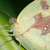 Catopsilia pomona - Lemon Migrant (female)