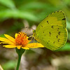 Eurema hecabe - Large Grass-yellow (male)