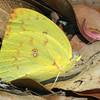 Catopsilia pomona - Lemon Migrant