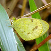 Eurema smilax - Small Grass-yellow (male)