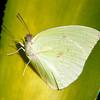 Catopsilia pomona - Lemon Migrant (male)