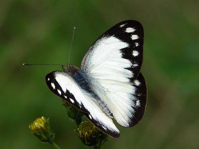 Pieridae - Whites and Yellows