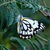Belenois java - Caper White