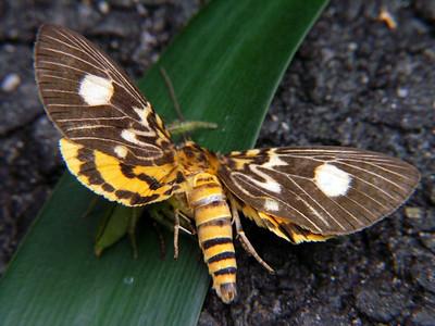 Aganaidae - Tropical Tiger Moths