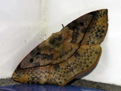 Anthelidae