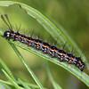 Nyctemera amicus - Senecio Moth (larva)