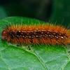 Spilosoma canescens - Dark-spotted Tiger Moth
