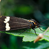 Nyctemera amicus - Senecio Moth