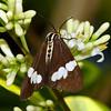 Nyctemera amicus - Senecio Moth (female)
