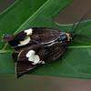 Nyctemera amicus - Senecio Moth (male)