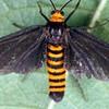 Amata bicolor
