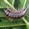 Anestia sp. (possibly A. ombrophanes) (larva)