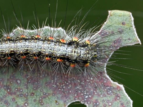 Anestia ombrophanes - Clouded Footman (larva)