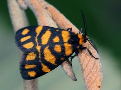 Arctiidae - Tiger Moths