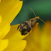 Tebenna micalis - Small Thistle Moth