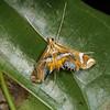 Margarosticha euprepialis