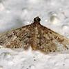 Metasia capnochroa