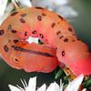 Capusa cuclloides (larva)