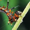 Mochlotona phasmatias (larva)