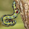Chlenias auctaria (larva)
