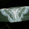Anisozyga pieroides - Bizarra Looper Moth (male)