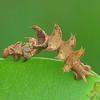 Anisozyga sp. (larva)