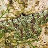 Aeolochroma hypochromaria