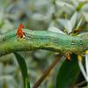 Circopetes obtusata (larva)