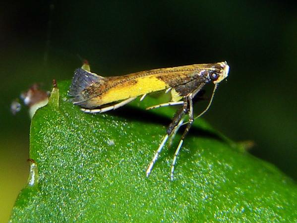 Caloptilia azaleella - Azalea Leaf Miner