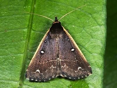 Herminiidae