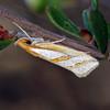 Thudaca mimodora