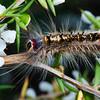 Porela sp. (larva)