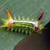 Anaxidia lozogramma (larva)