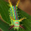 Calcarifera ordinata (larva)