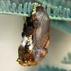 Doratifera oxleyi - Painted Cup Moth