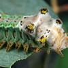 Doratifera oxleyi - Painted Cup Moth (larva)
