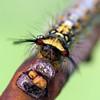 Acyphas semiochrea (larva)