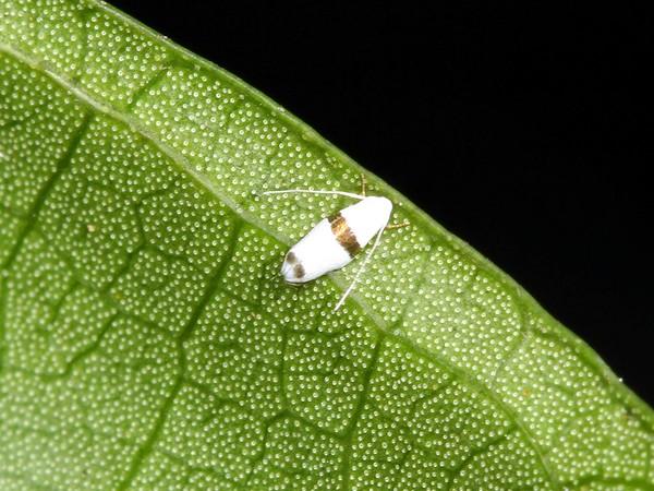 possibly Leucoptera plagiomitra