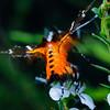 Hecatesia fenestrata - Whistling Moth
