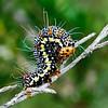Hecatesia fenestrata - Whistling Moth (larva)