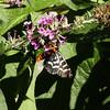 Comocrus behri - Mistletoe Moth