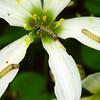 Spodoptera litura (larvae)