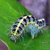 Xanthodes transversa (larva)