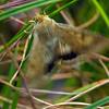 Helicoverpa punctigera - Native Budworm