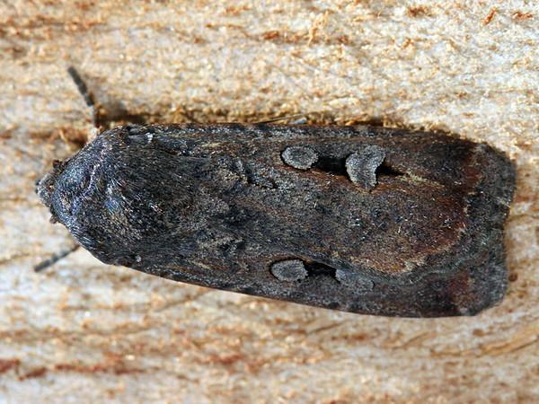 Agrotis infusa - Bogong Moth